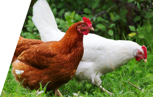 improved-environmental-conditions-for-poultry-and-workers