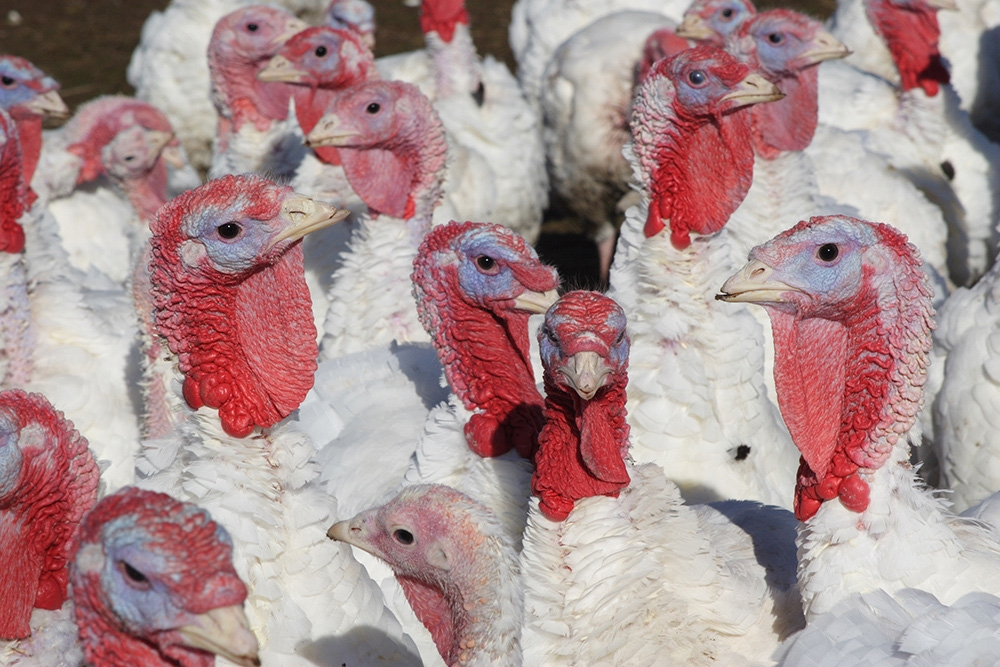 reduced-mortality-rates-in-turkey-farming